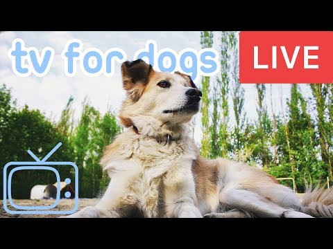Walk my Dog TV! Chill Your Dog Out with this 24/7 TV and Music Playlist!